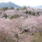 2020年 しまなみ海道のサクラの開花日・満開日予報